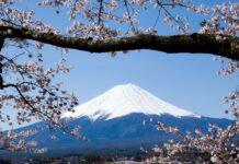 visto japonês, visão panorâmica do monte fuji com cerejeira tipicamente japonesa na frente